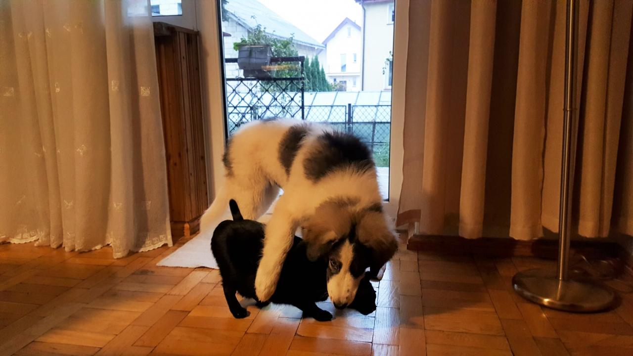 Z tornjakiem wśród kotów