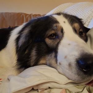 Tornjak Joszko – domowy pies kanapowy